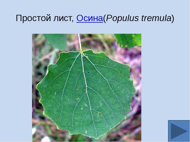 Простой лист,Осина(Populus tremula)