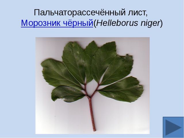 Пальчаторассечённый лист,Морозник чёрный(Helleborus niger)