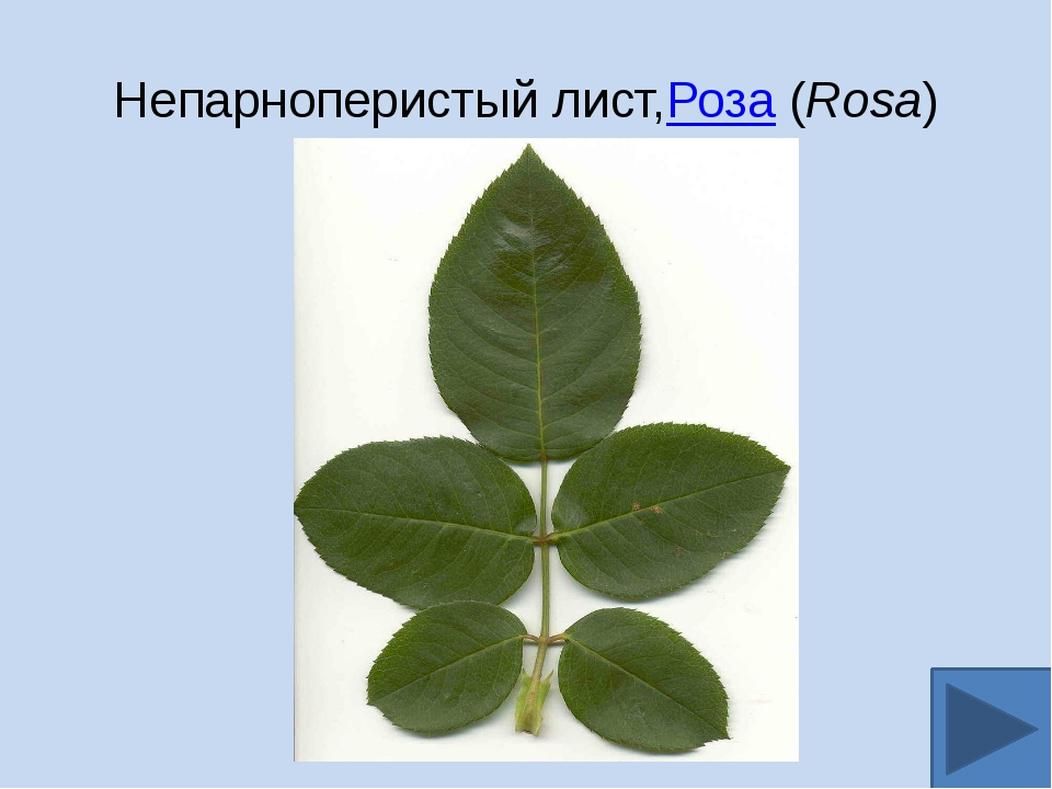 Непарноперистый лист,Роза(Rosa)