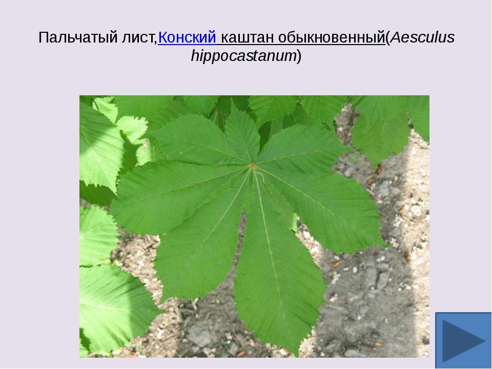 Пальчатый лист,Конский каштан обыкновенный(Aesculus hippocastanum)