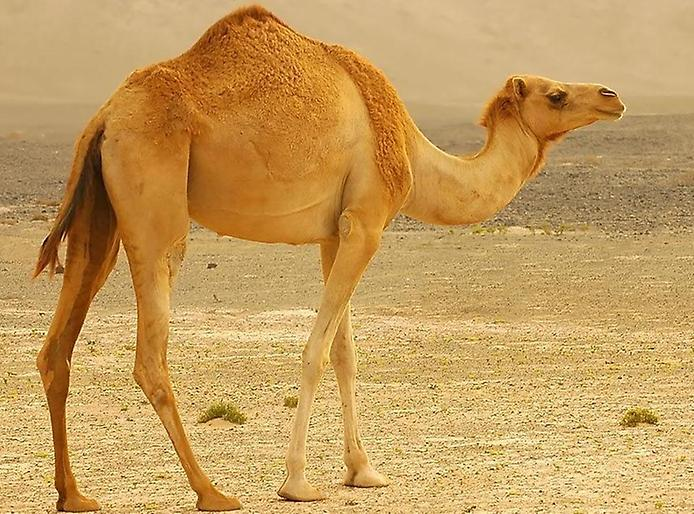 Удивительные факты о верблюдах