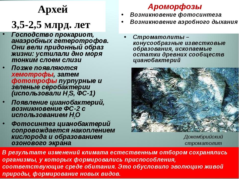Архей 3,5-2,5 млрд. лет Строматолиты – конусообразные известковые образования...