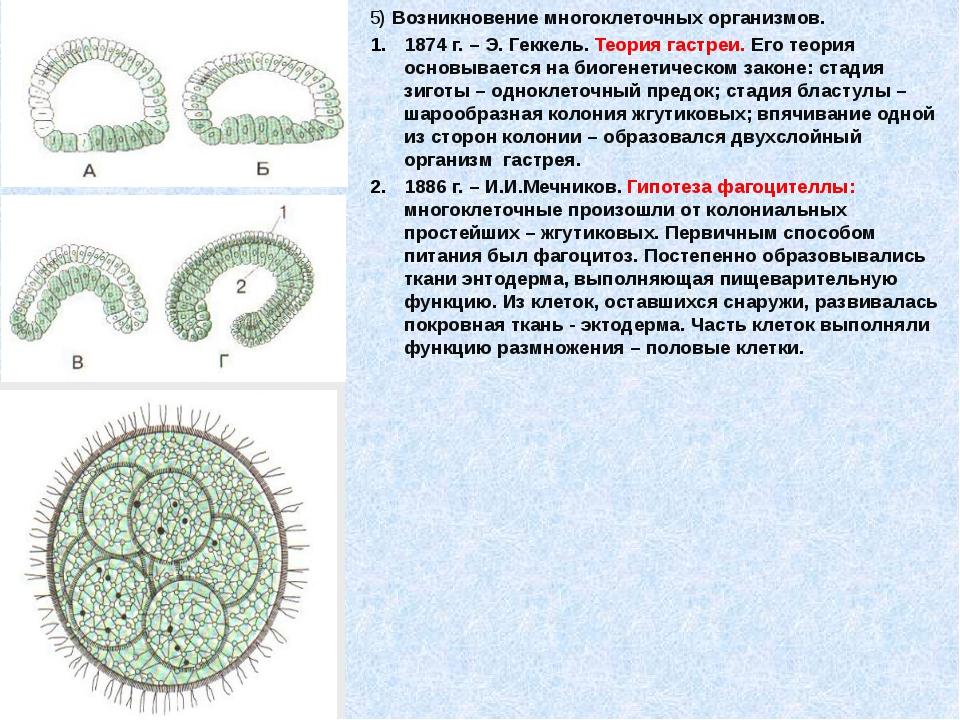 5) Возникновение многоклеточных организмов. 1874 г. – Э. Геккель. Теория гас...
