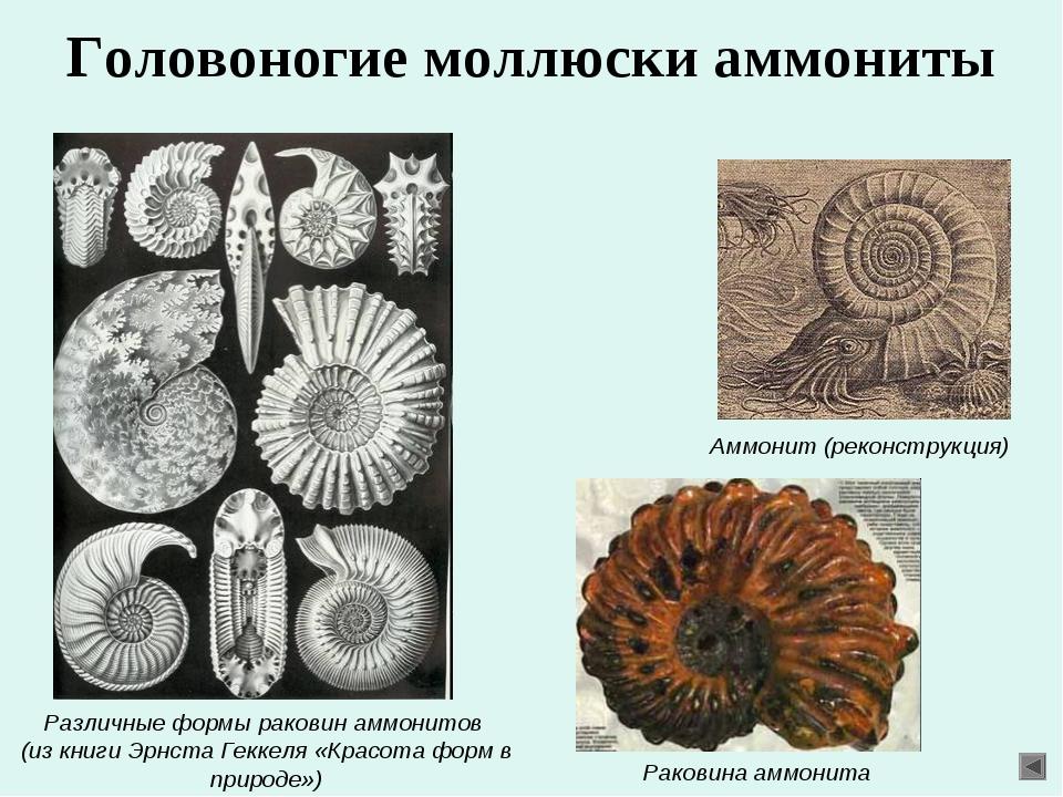 Головоногие моллюски аммониты Различные формы раковин аммонитов (из книги Эрн...