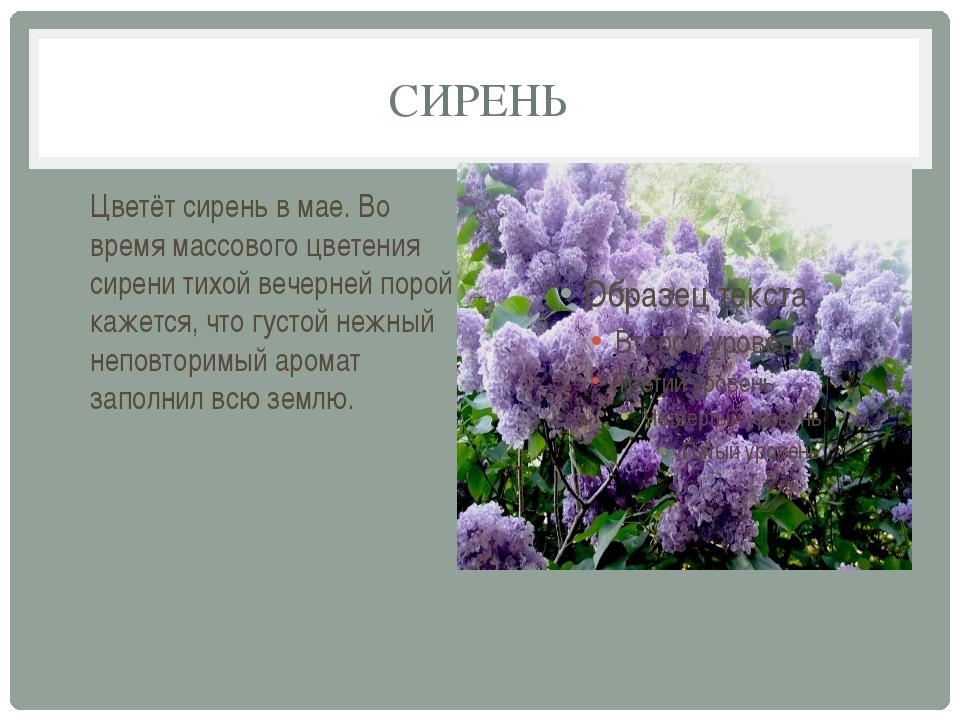 СИРЕНЬ Цветёт сирень в мае. Во время массового цветения сирени тихой вечерней...