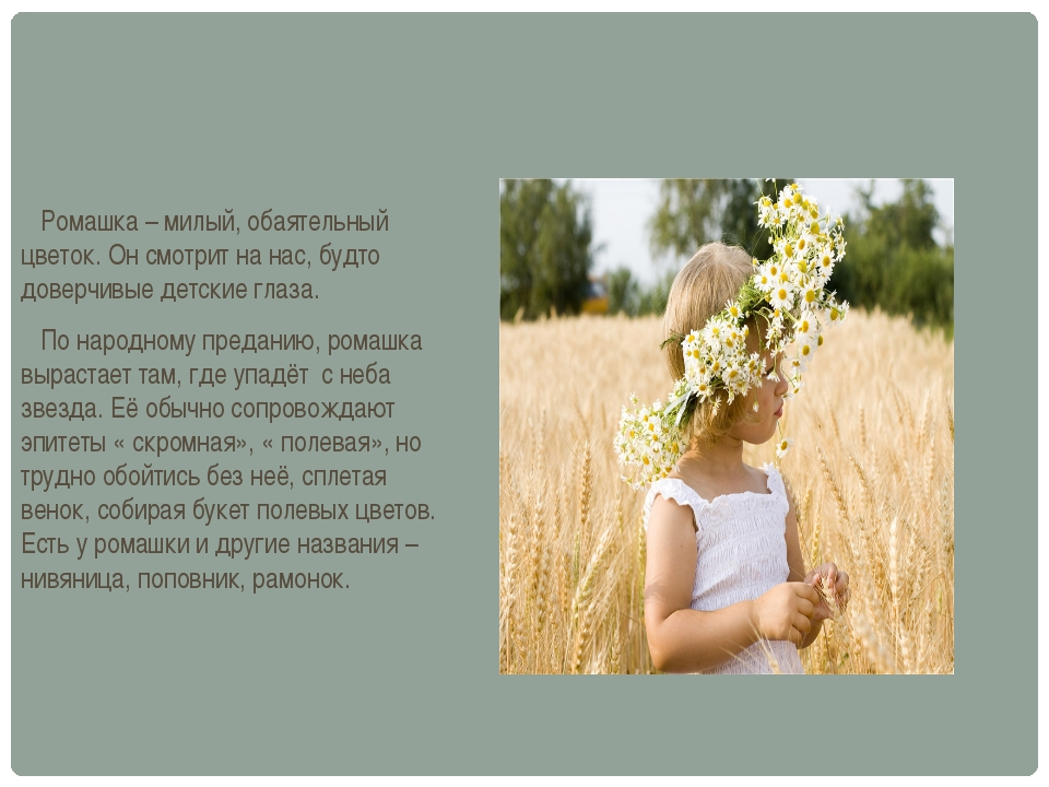 Ромашка – милый, обаятельный цветок. Он смотрит на нас, будто доверчивые дет...