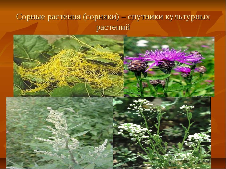 Сорные растения (сорняки) – спутники культурных растений