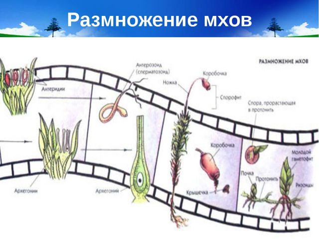 Размножение мхов