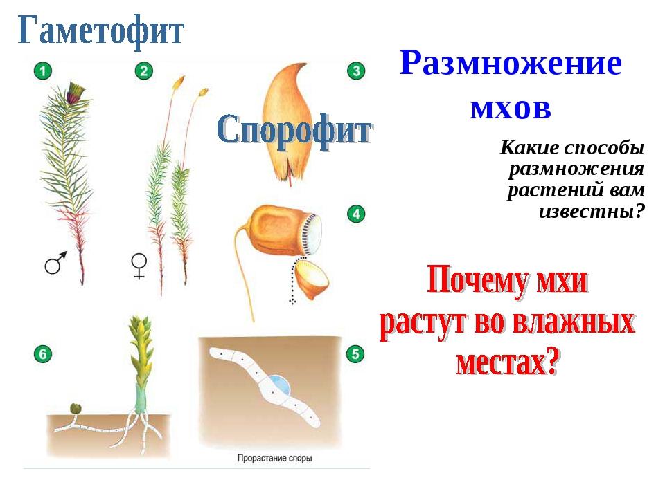 Размножение мхов Какие способы размножения растений вам известны?