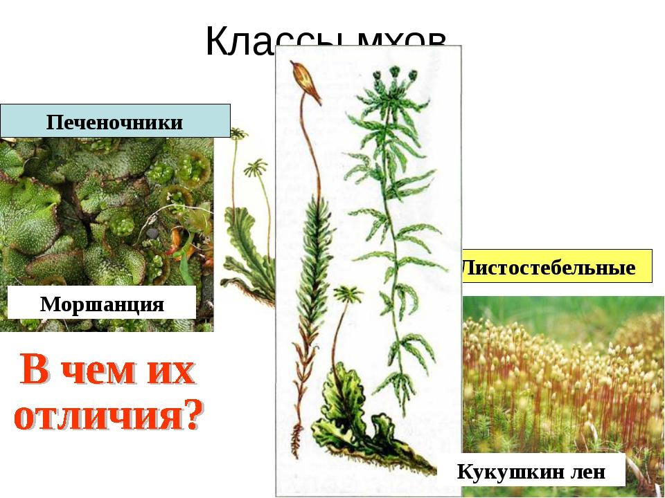 Классы мхов Листостебельные Печеночники Моршанция Кукушкин лен