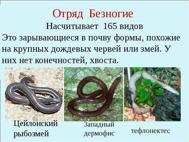 Отряд Безногие Насчитывает 165 видов Это зарывающиеся в почву формы, похожие...