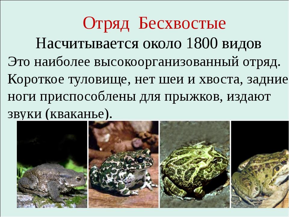 Отряд Бесхвостые Насчитывается около 1800 видов Это наиболее высокоорганизов...