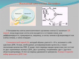 У большинства клеток многоклеточного организма клетки G1 включает G0 период,