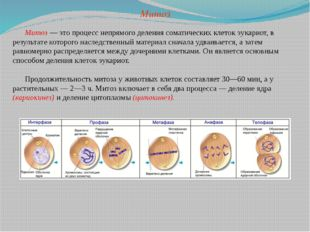 Митоз — это процесс непрямого деления соматических клеток эукариот, в результ