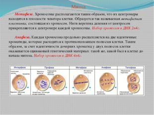 Метафаза. Хромосомы располагаются таким образом, что их центромеры находятся