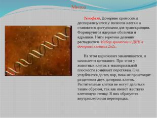Телофаза. Дочерние хромосомы деспирализуются у полюсов клетки и становятся до