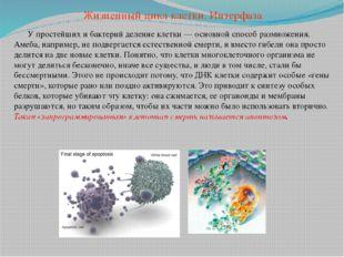 У простейших и бактерий деление клетки — основной способ размножения. Амеба,