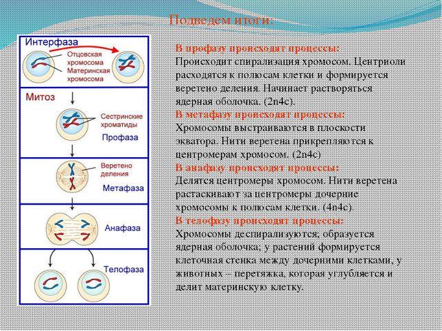 В профазу происходят процессы: Происходит спирализация хромосом. Центриоли ра...