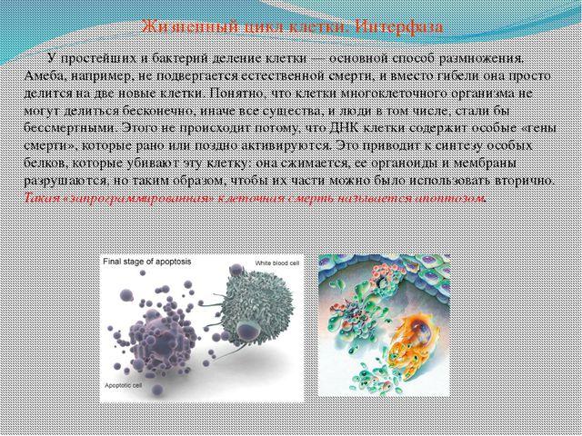 У простейших и бактерий деление клетки — основной способ размножения. Амеба,...