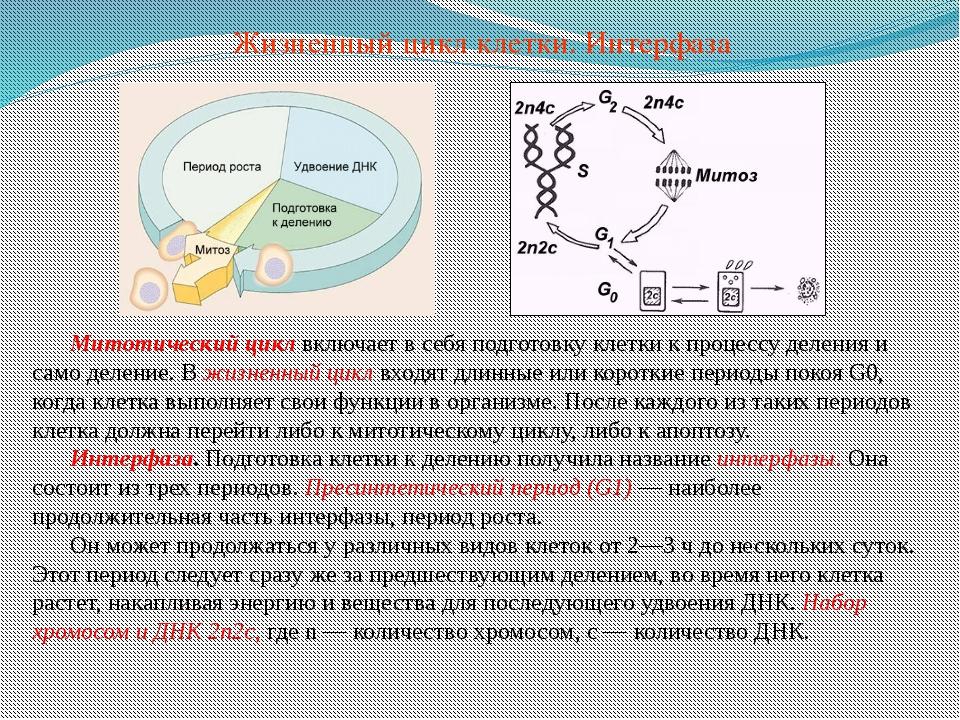 Митотический цикл включает в себя подготовку клетки к процессу деления и само...