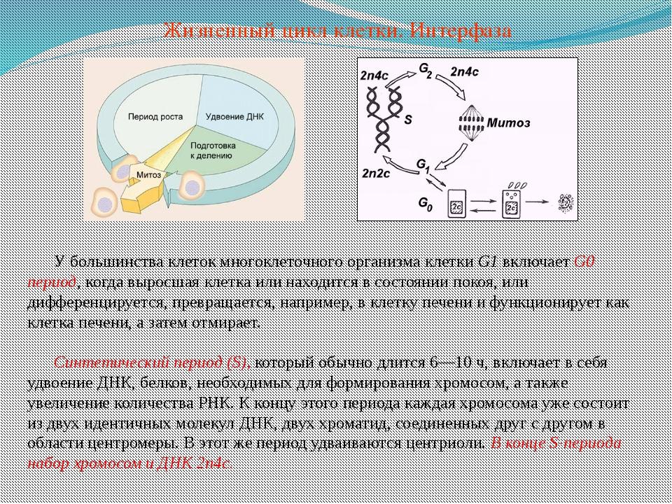 У большинства клеток многоклеточного организма клетки G1 включает G0 период,...