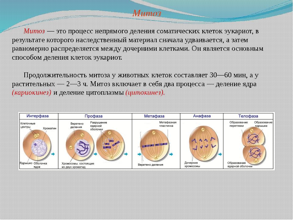 Митоз — это процесс непрямого деления соматических клеток эукариот, в результ...