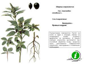Распространен повсеместно. Растет на полях в садах и огородах, обилен на плод