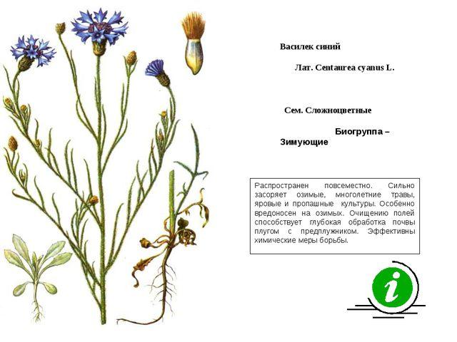 Распространен повсеместно. Сильно засоряет озимые, многолетние травы, яровые...