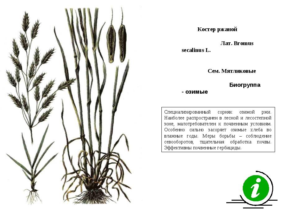 Специализированный сорняк озимой ржи. Наиболее распространен в лесной и лесос...