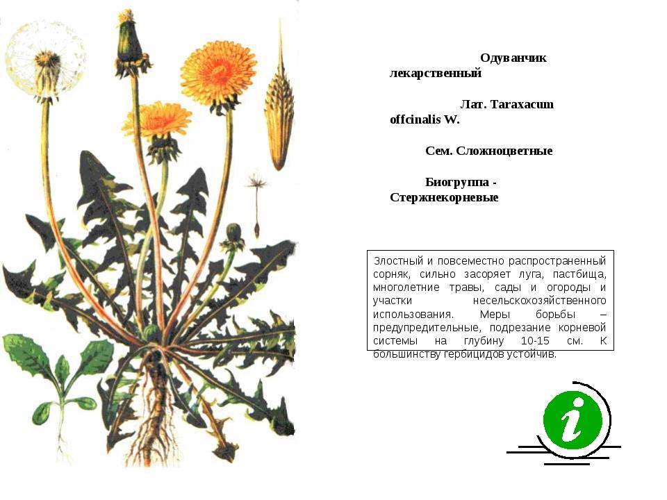 Злостный и повсеместно распространенный сорняк, сильно засоряет луга, пастбищ...
