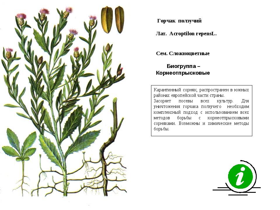 Карантинный сорняк, распространен в южных районах европейской части страны. З...