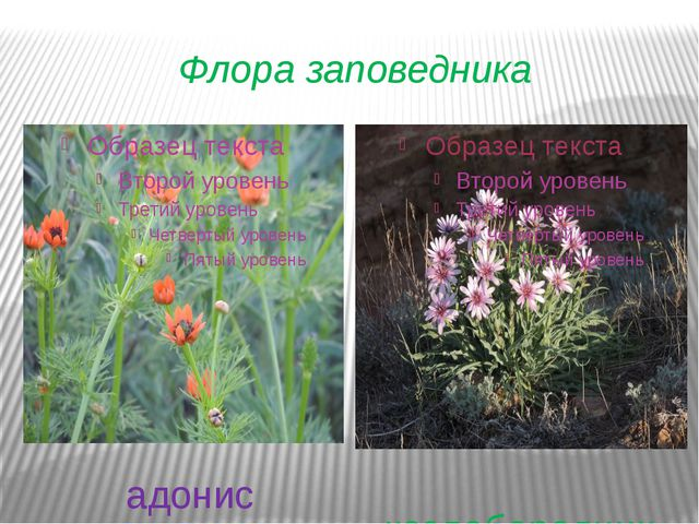 Флора заповедника адонис козлобородник