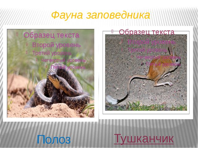 Фауна заповедника Полоз Тушканчик