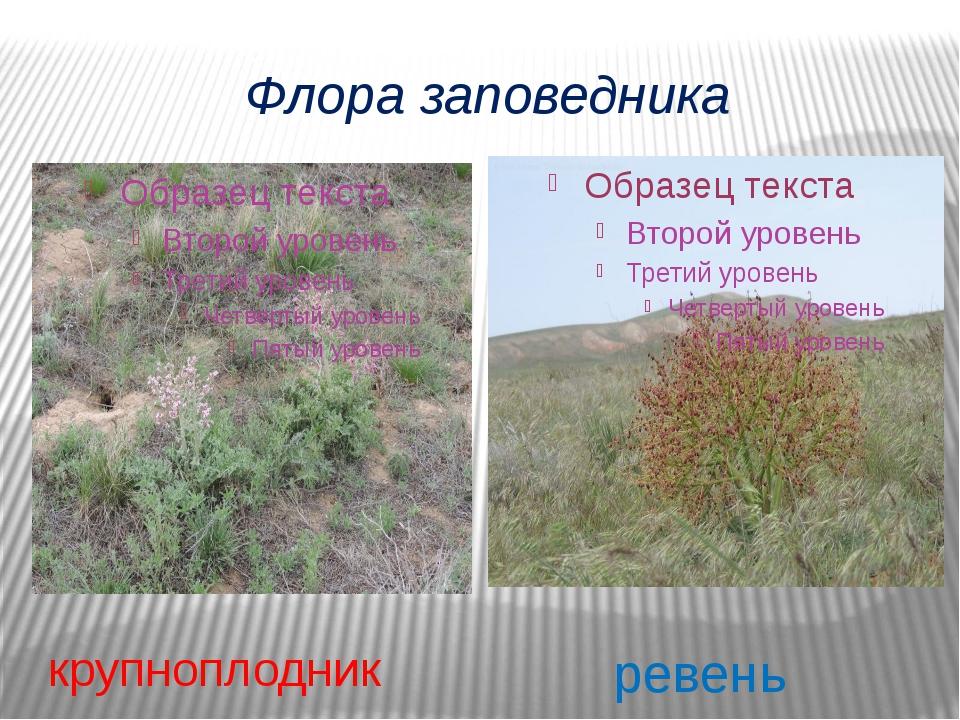 Флора заповедника крупноплодник ревень