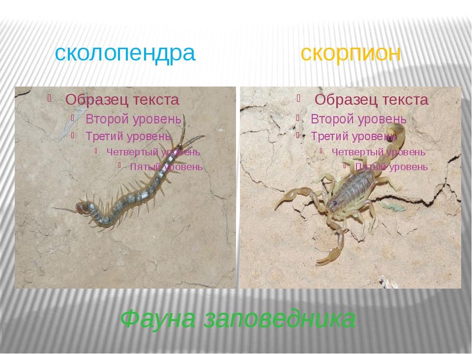 Фауна заповедника сколопендра скорпион