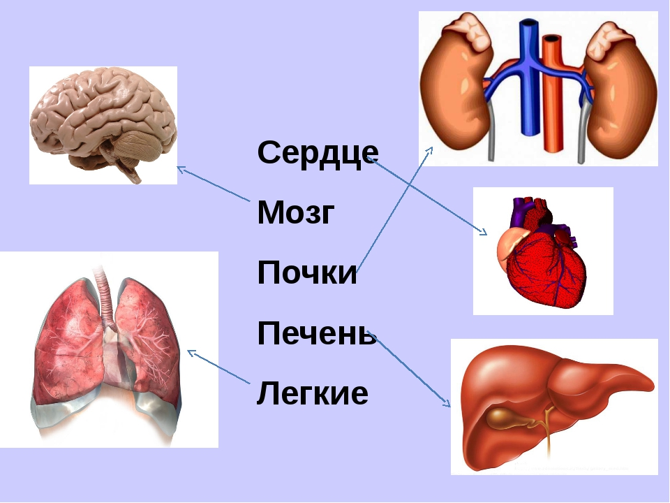 Сердце Мозг Почки Печень Легкие