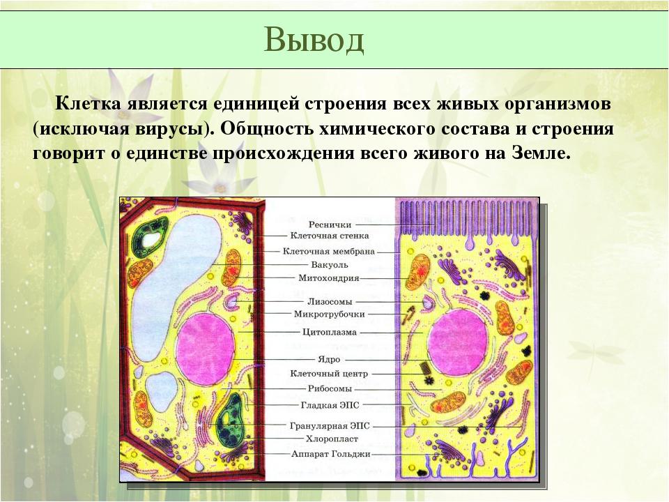 Клетка является единицей строения всех живых организмов (исключая вирусы). О...