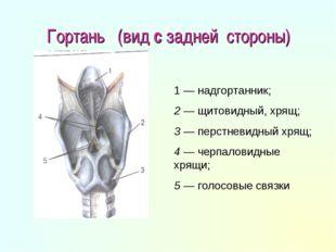 Гортань (вид с задней стороны) 1 — надгортанник; 2 — щитовидный, хрящ; 3 — пе