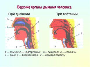 Верхние органы дыхания человека 1 — язычок; 2 — надгортанник 3— пищевод; 4 —