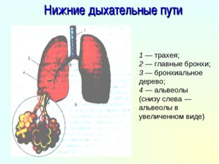 Нижние дыхательные пути 1 — трахея; 2 — главные бронхи; 3 — бронхиальное дере