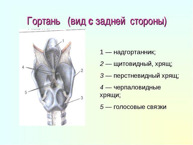 Гортань (вид с задней стороны) 1 — надгортанник; 2 — щитовидный, хрящ; 3 — пе...