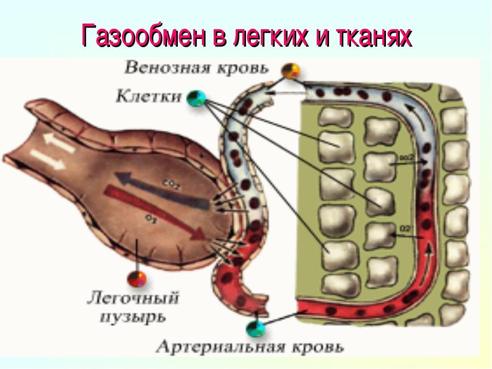 Газообмен в легких и тканях