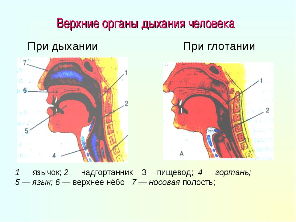 Верхние органы дыхания человека 1 — язычок; 2 — надгортанник 3— пищевод; 4 —...