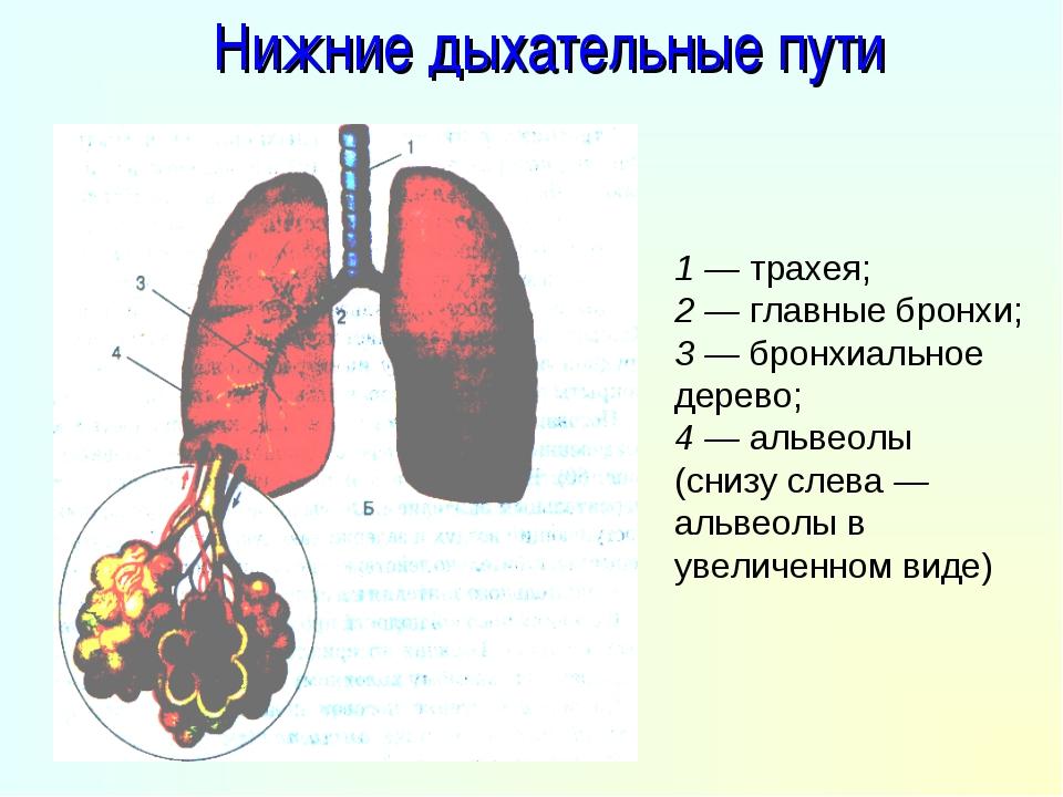 Нижние дыхательные пути 1 — трахея; 2 — главные бронхи; 3 — бронхиальное дере...