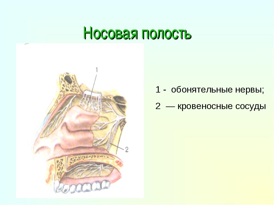 Носовая полость 1 - обонятельные нервы; 2 — кровеносные сосуды