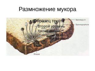 Размножение мукора