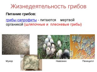 Жизнедеятельность грибов Питание грибов: грибы-сапрофиты - питаются мертвой о
