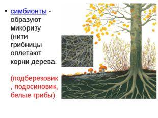 симбионты - образуют микоризу (нити грибницы оплетают корни дерева. (подберез