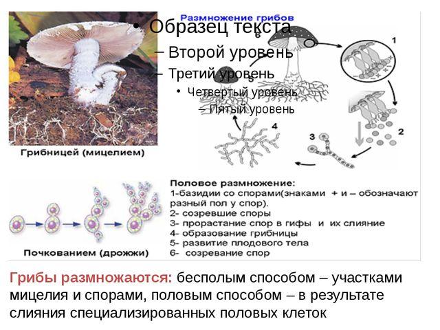 Грибы размножаются: бесполым способом– участками мицелия и спорами, половым...