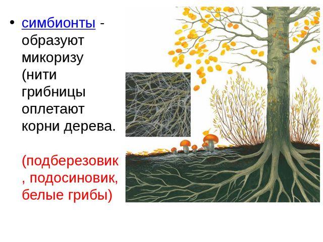 симбионты - образуют микоризу (нити грибницы оплетают корни дерева. (подберез...